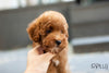 (Purchased by Baena) Zoey - Doodle. M - Rolly Teacup Puppies - Rolly Pups