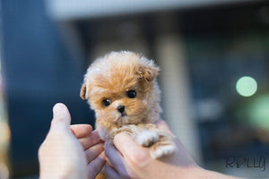 (Purchased by Bondoc) Zoey - Maltipoo. F - Rolly Teacup Puppies