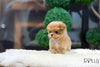 (Purchased by Bondoc) Zoey - Maltipoo. F - Rolly Teacup Puppies - Rolly Pups