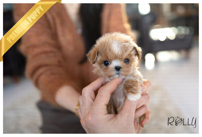 (RESERVED by Undorfer) ZOEY - Maltipoo. M - ROLLY PUPS INC