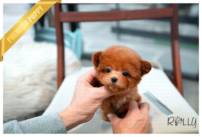 (PURCHASED by Ciammaruconi) Zoey - Poodle. F - Rolly Teacup Puppies