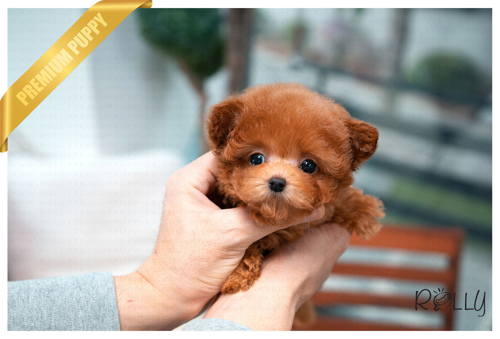 Purchased By Ciammaruconi Zoey Poodle F Rolly Teacup Puppies