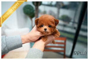 (PURCHASED by Ciammaruconi) Zoey - Poodle. F - Rolly Teacup Puppies - Rolly Pups