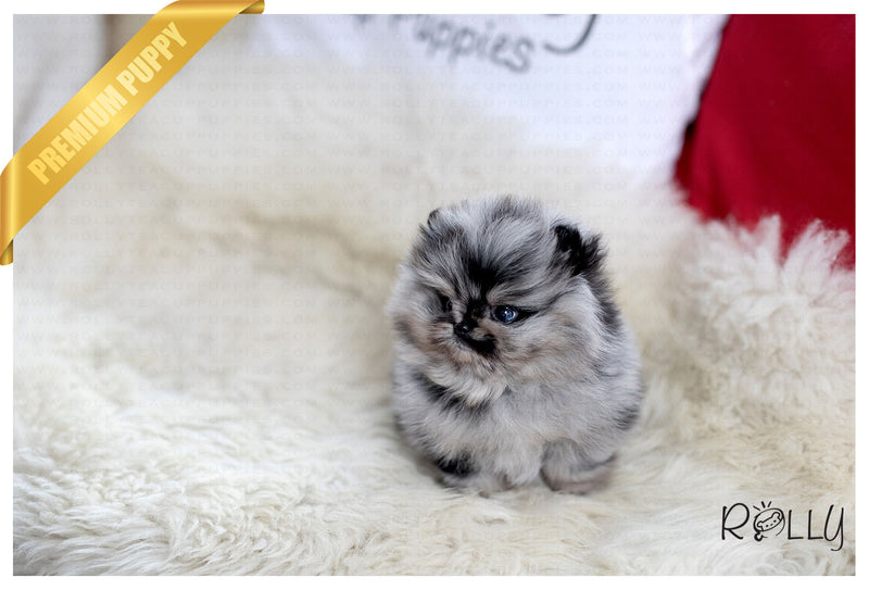 (RESERVED by Crow) Zorro - Pomeranian. M - Rolly Teacup Puppies