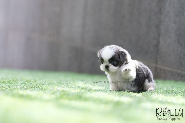 (SOLD to Salviola) Zorro - Shih Tzu. M - Rolly Teacup Puppies
