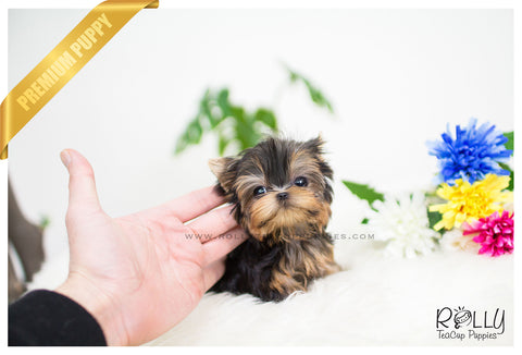 Adam - Yorkshire Terrier. M