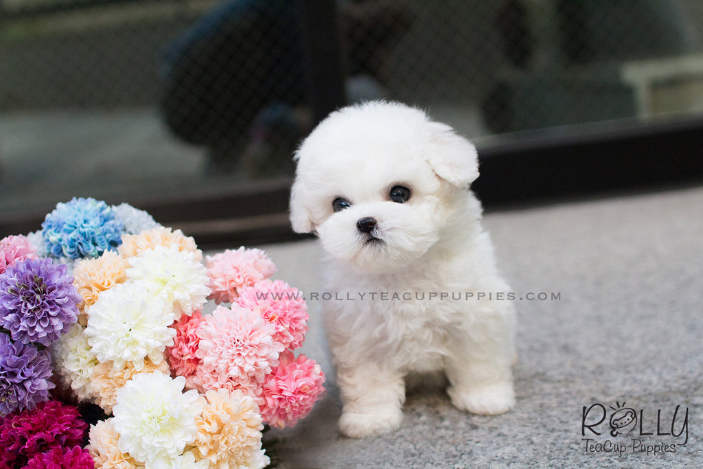 Bichon Frise Puppy Picture Picture Of Puppies - Wallpaperzen org