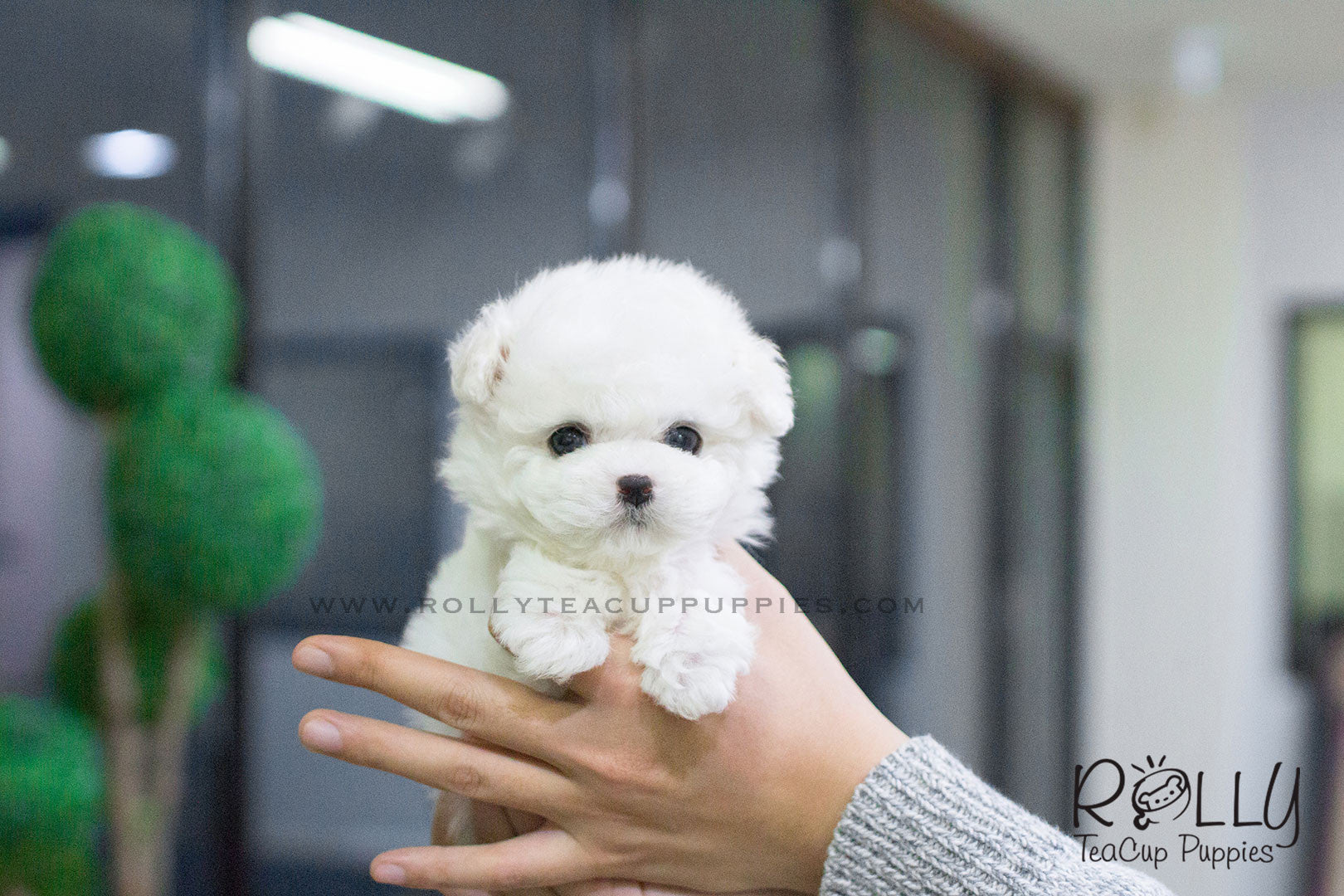 Molly Bichon F Rolly Teacup Puppies