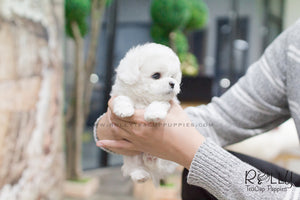 MoMo - Bichon. M - Rolly Teacup Puppies