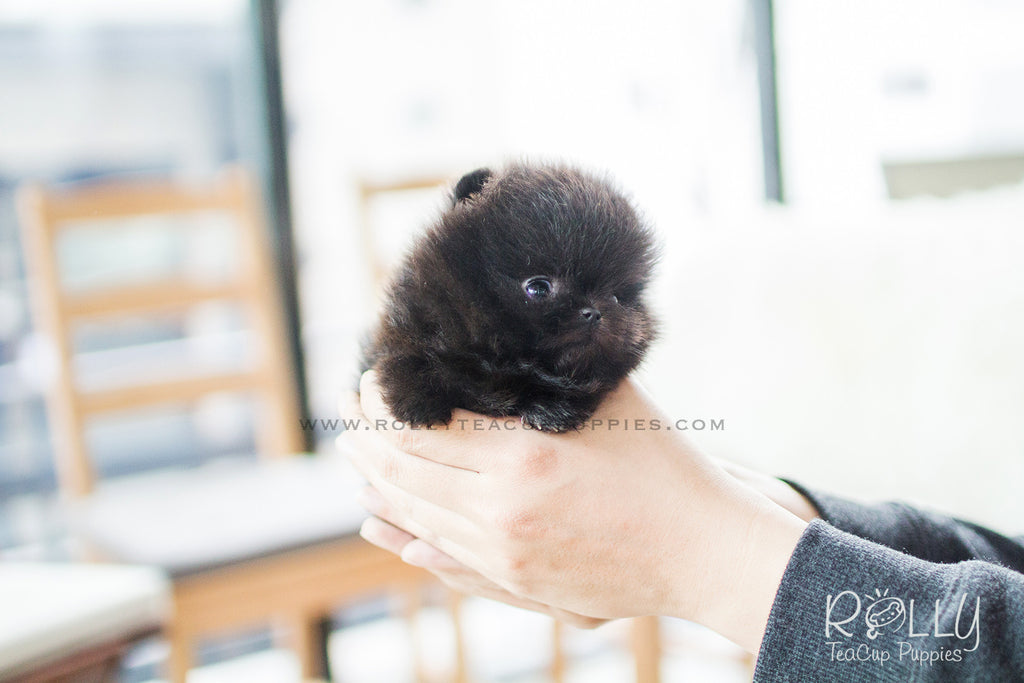miniature pomeranian for sale near me onyx pomeranian m rolly teacup puppies 4207