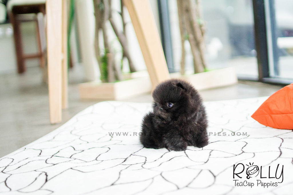 Onyx - Pomeranian. M - Rolly Teacup Puppies