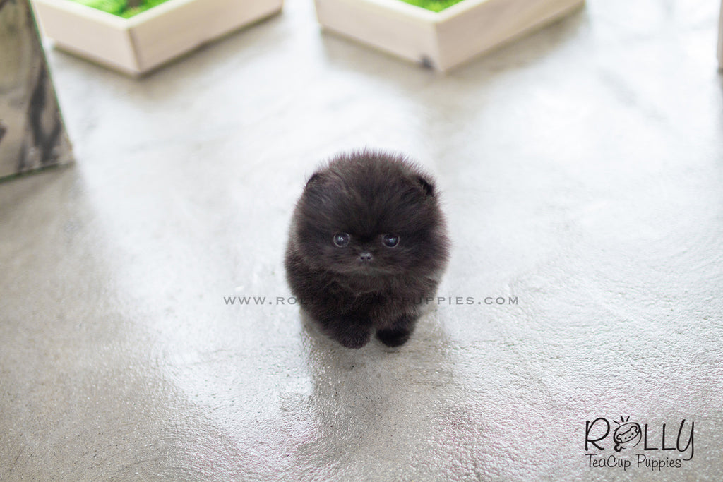 miniature pomeranian for sale near me onyx pomeranian m rolly teacup puppies 5793