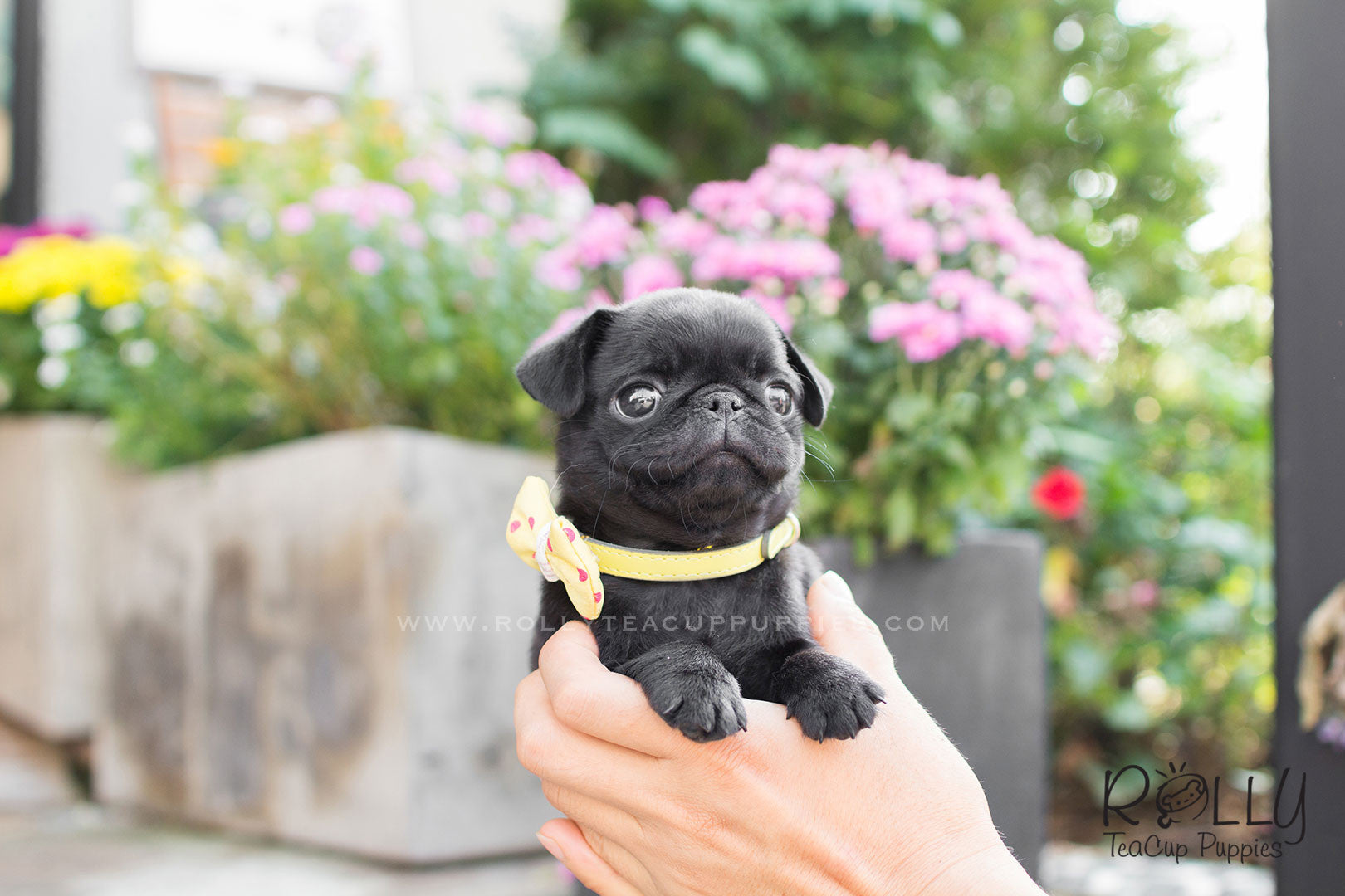 Fiona - Black Pug– Rolly Teacup Puppies