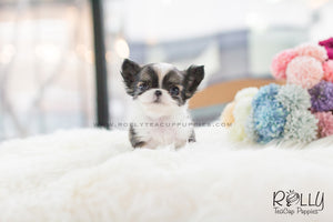 (SOLD to Simmon) CoCo - Long Hair Chihuahua. F - Rolly Teacup Puppies - Rolly Pups