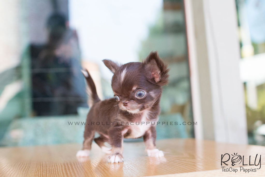 Peanut - Chihuahua - Rolly Teacup Puppies