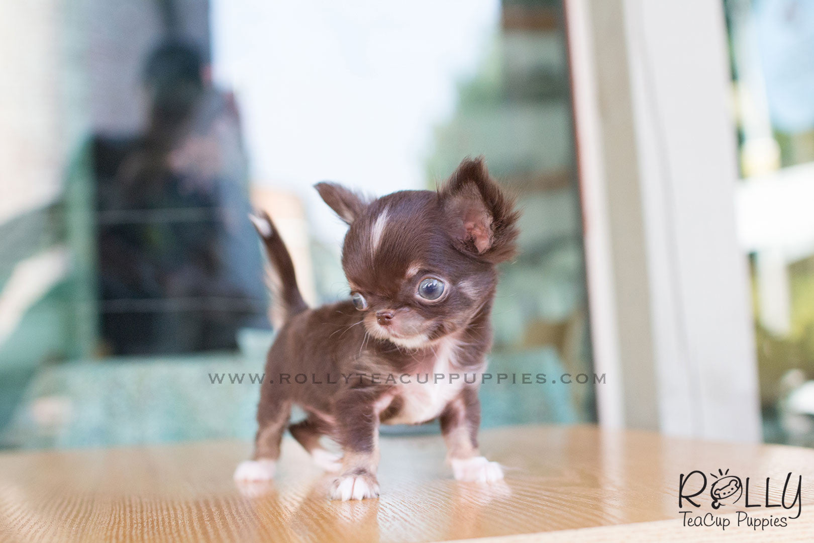 Peanut Chihuahua Rolly Teacup Puppies