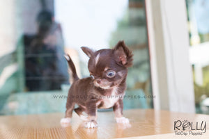 Peanut - Chihuahua - Rolly Teacup Puppies - Rolly Pups