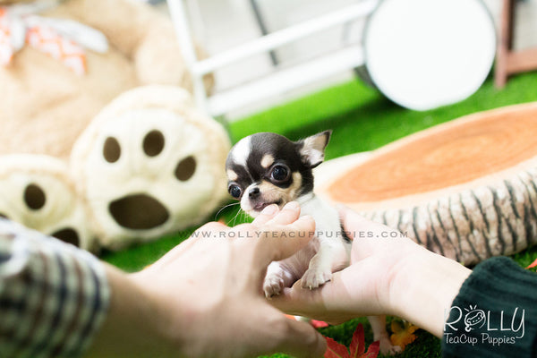 Gus - Chihuahua - Rolly Teacup Puppies