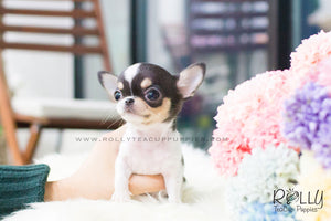 Gus - Chihuahua - Rolly Teacup Puppies - Rolly Pups