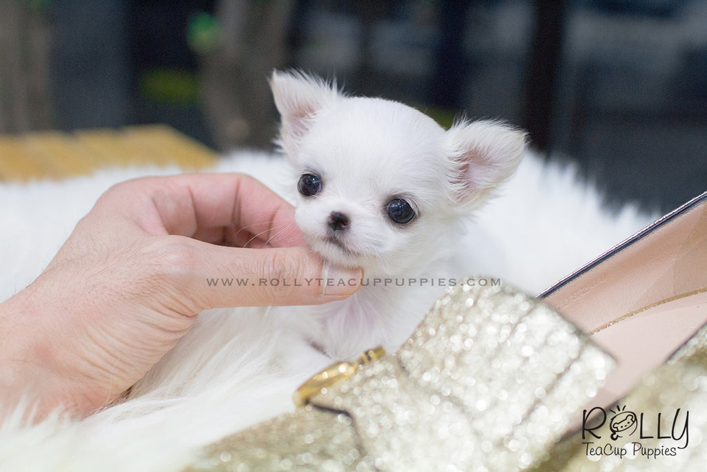 Bonita - Long Hair Chihuahua. F - Rolly Teacup Puppies