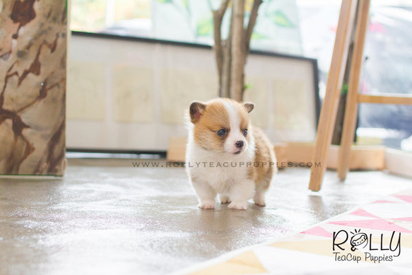 Frodo - Corgi. M – Rolly Teacup Puppies