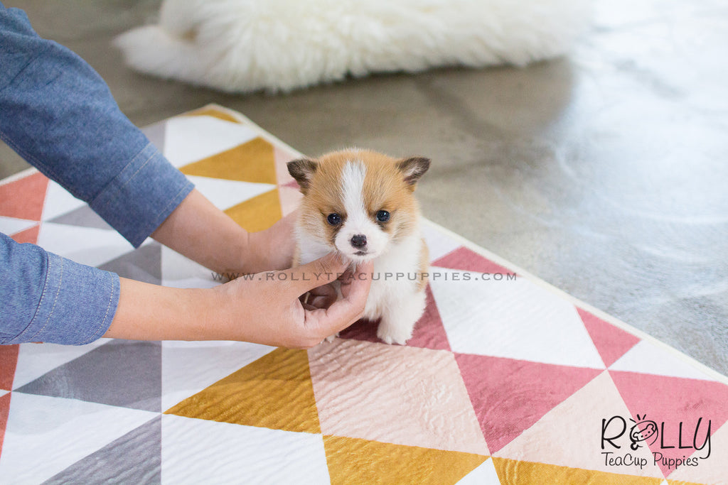 Frodo - Corgi. M - Rolly Teacup Puppies
