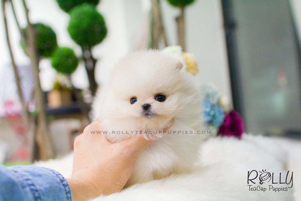 teacup pomeranian near me annie pomeranian rolly teacup puppies 7436