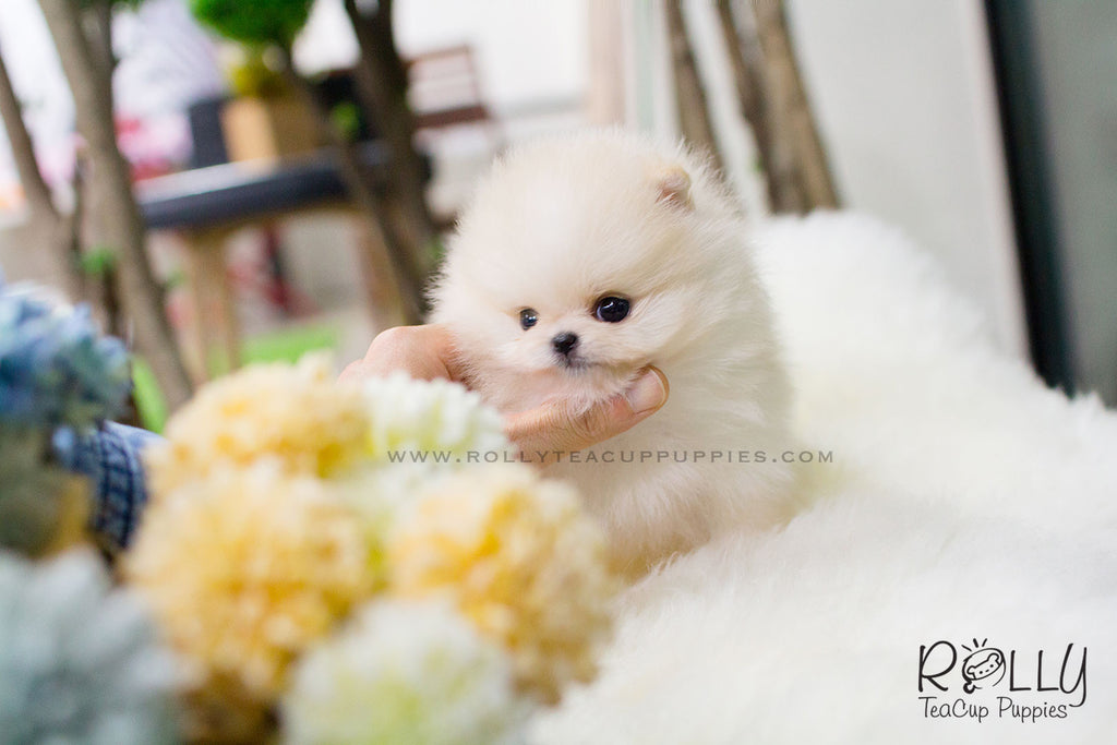 miniature pomeranian for sale near me annie pomeranian rolly teacup puppies 9893