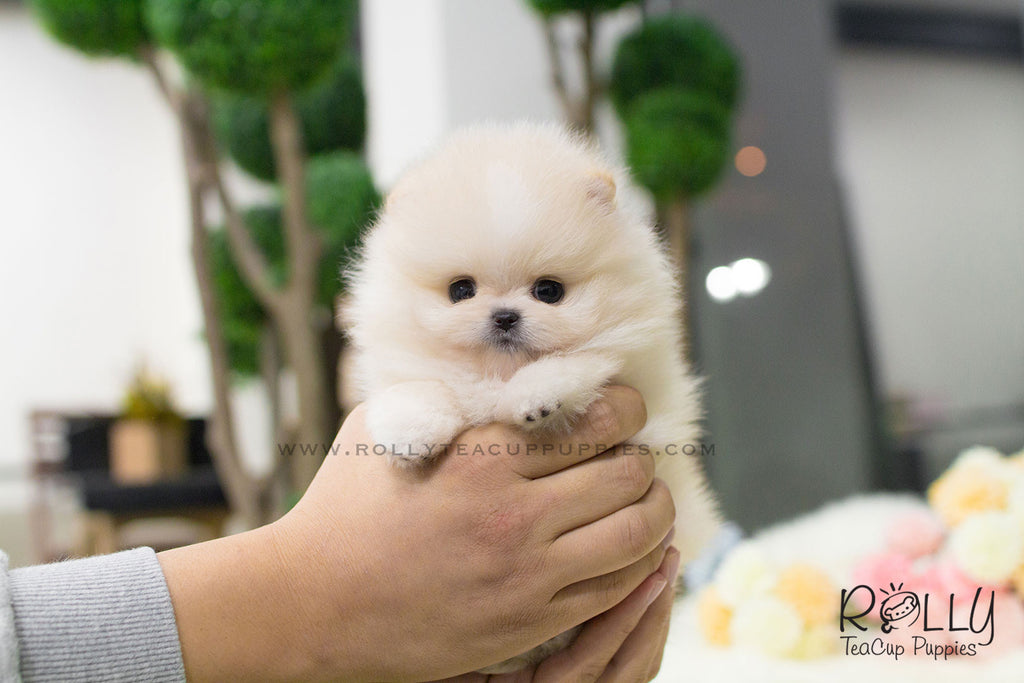 Pomeranian Breeders Near Me Looking For Home