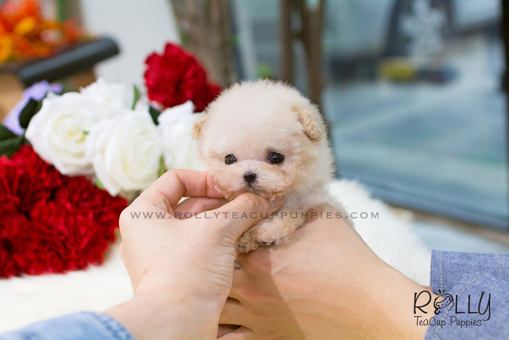 Mia - Poodle. F - Rolly Teacup Puppies