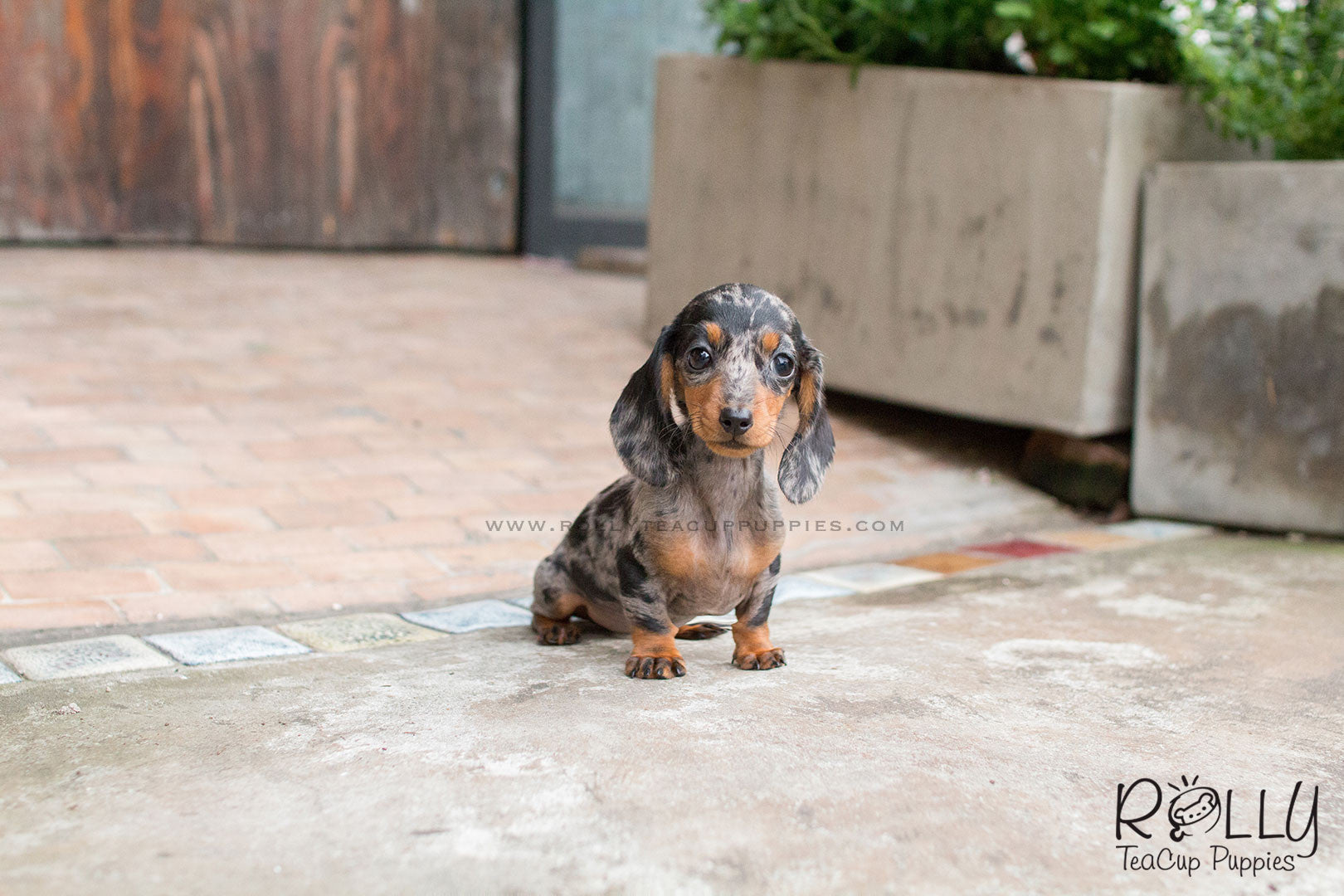 Betty Dachshund Rolly Teacup Puppies