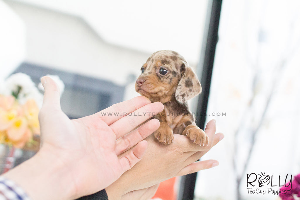 (SOLDto Dement) M&M - Dachshund. F - Rolly Teacup Puppies