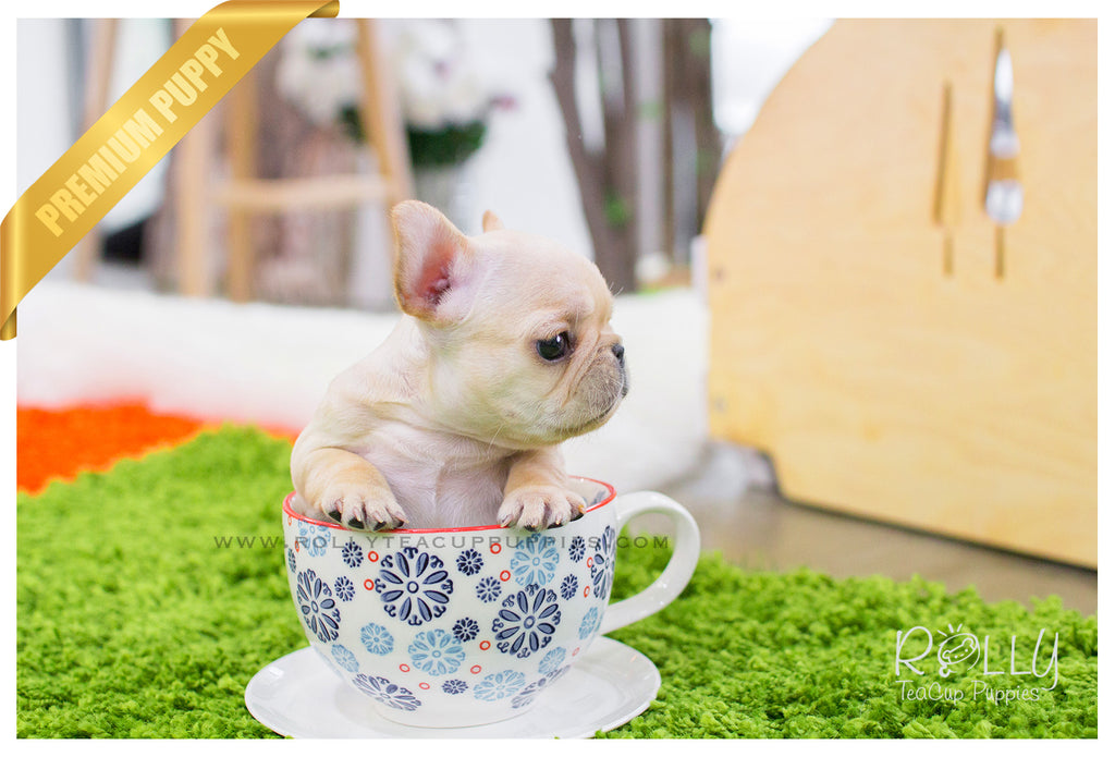 teacup french bulldog price ben french bulldog m rolly teacup puppies 193