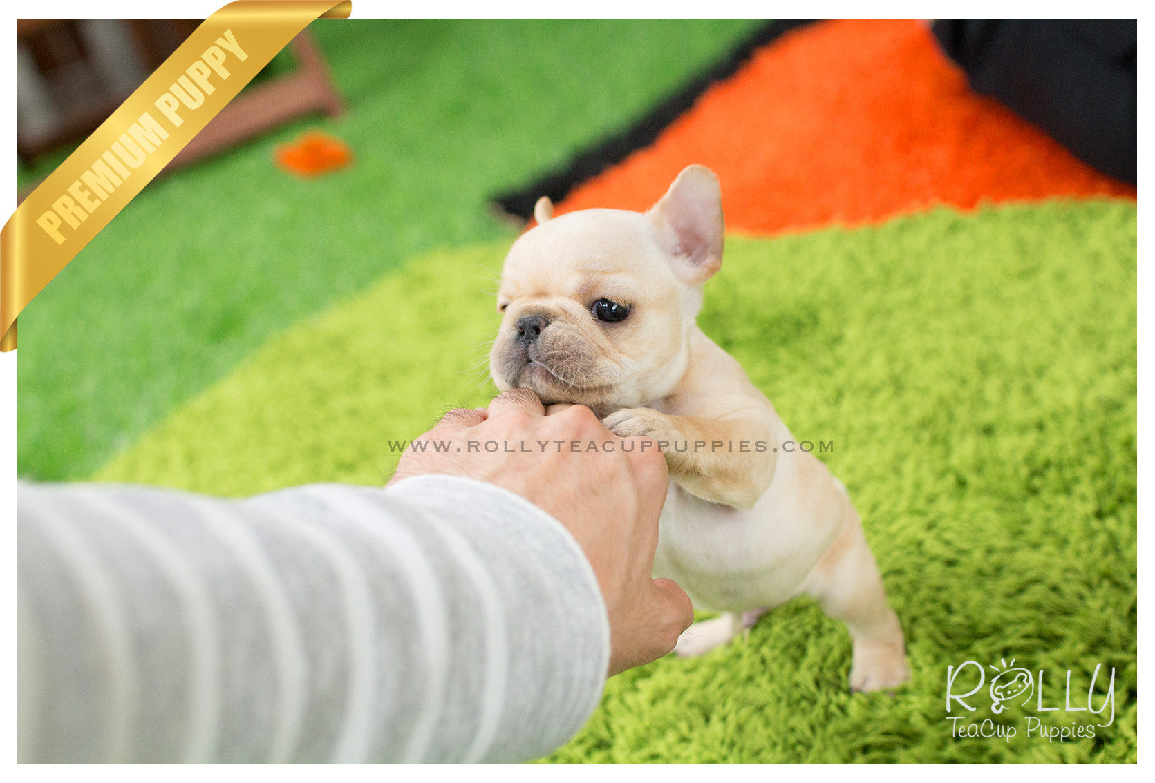 Ben French Bulldog M Rolly Teacup Puppies
