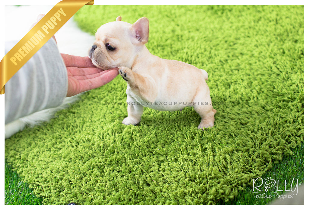 Ben - French Bulldog. M – Rolly Teacup Puppies
