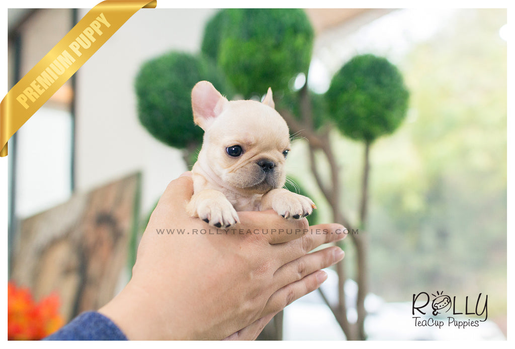 teacup french bulldog price ben french bulldog m rolly teacup puppies 9014
