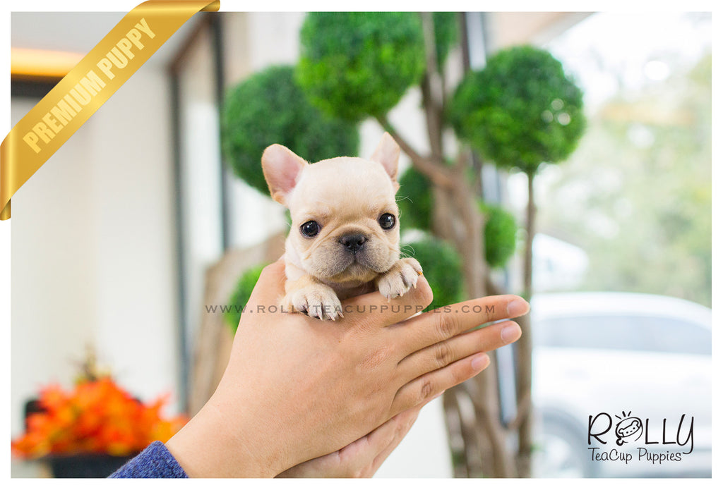 french bulldog breeders near me ben french bulldog m rolly teacup puppies 1353