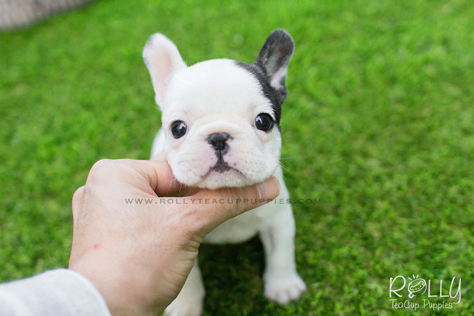 Piggie Frenchie F Rolly Pups Inc