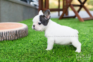 Piggie - Frenchie. F - Rolly Teacup Puppies