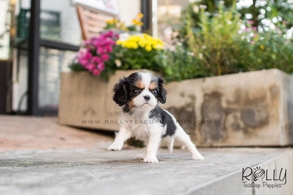 Lily - King Charles - Rolly Teacup Puppies