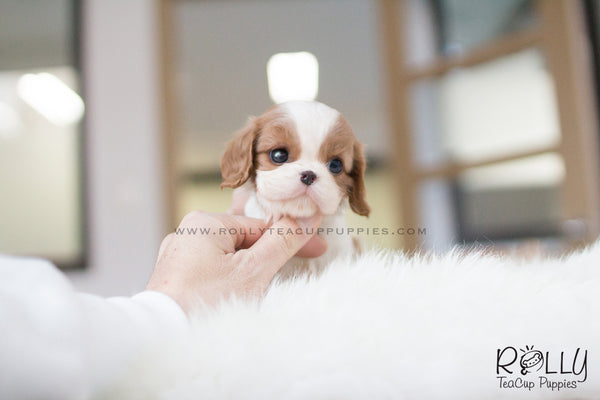 (SOLD to Zawawi) Daisy - King Charles Jr. F - Rolly Teacup Puppies