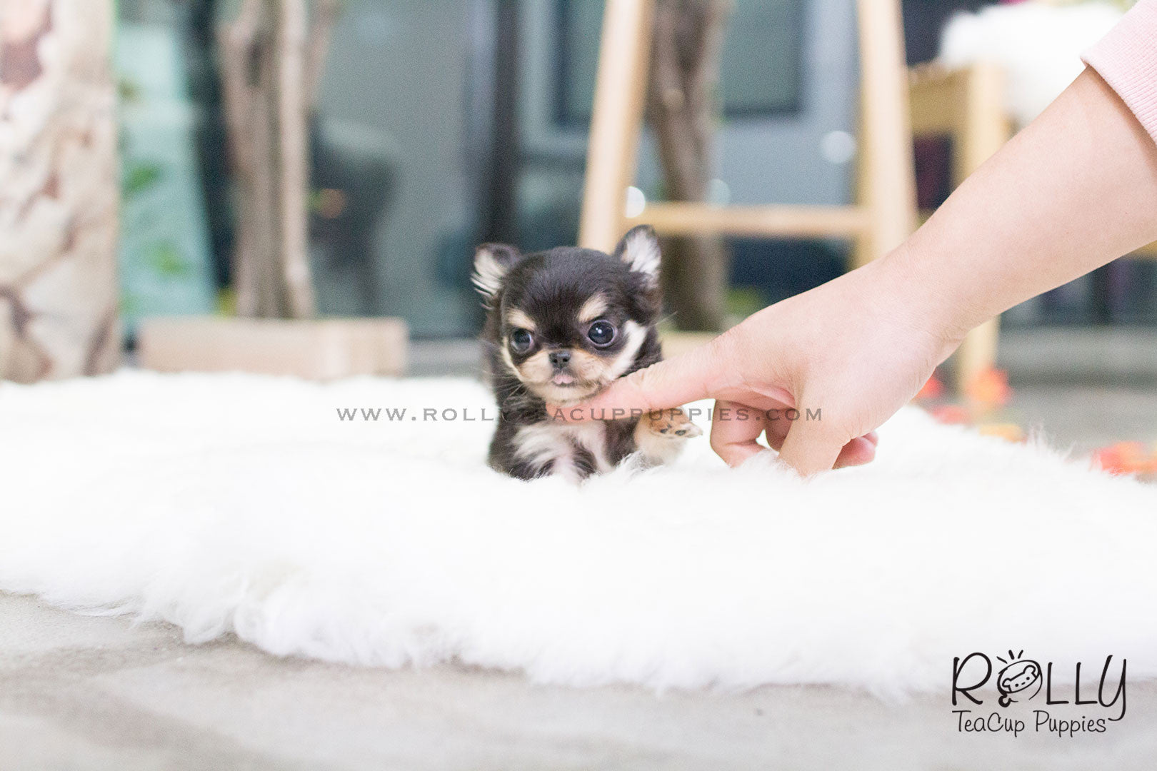 Tequila - Long Hair Chihuahua  M– Rolly Teacup Puppies