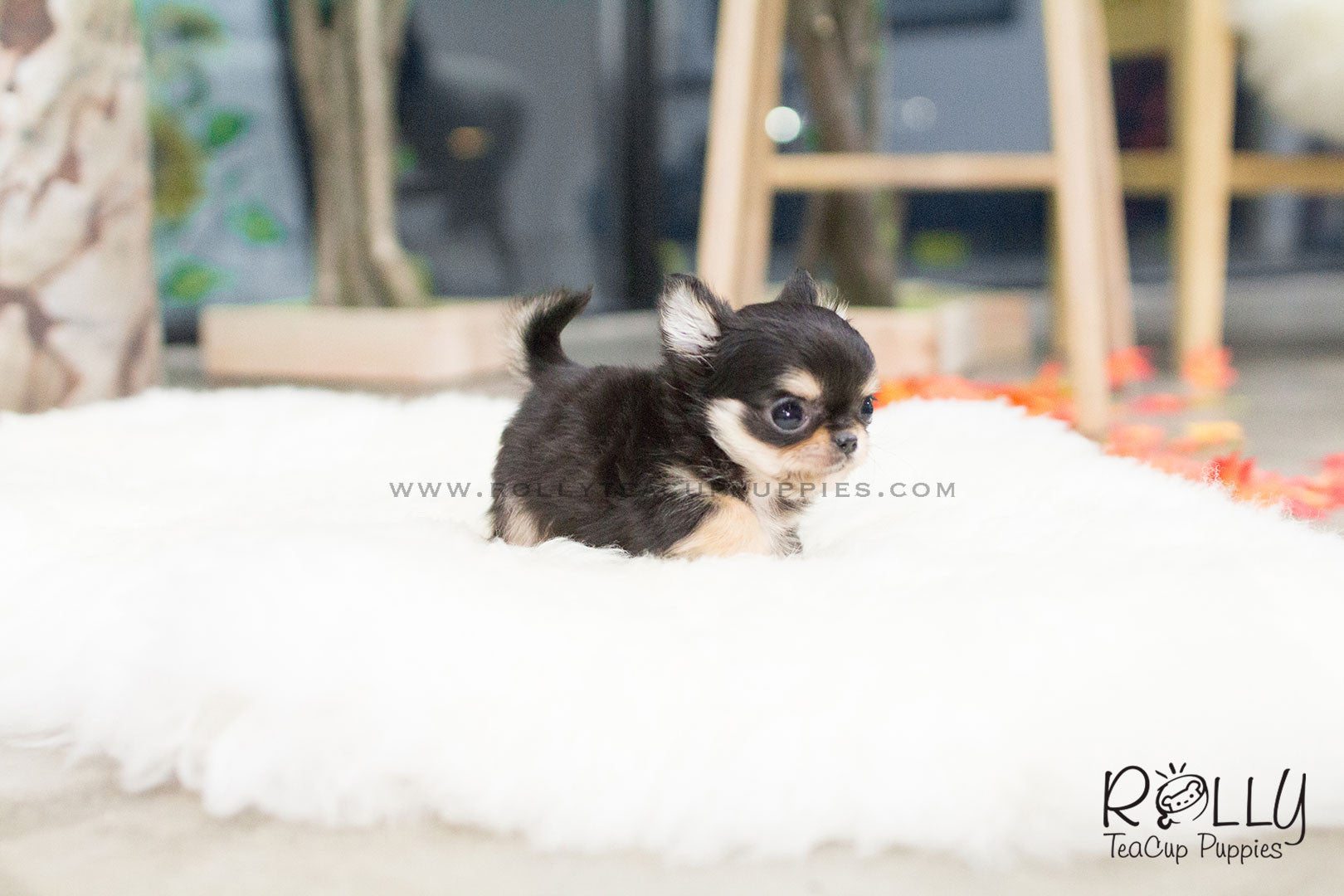 Tequila Long Hair Chihuahua M Rolly Teacup Puppies