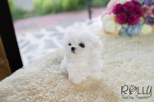 Emily - Maltese - ROLLY PUPS INC