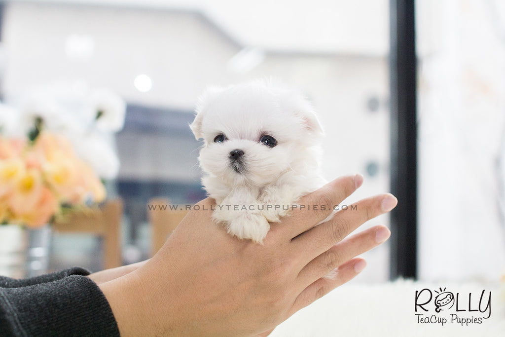 Mason - Maltese. M - Rolly Teacup Puppies