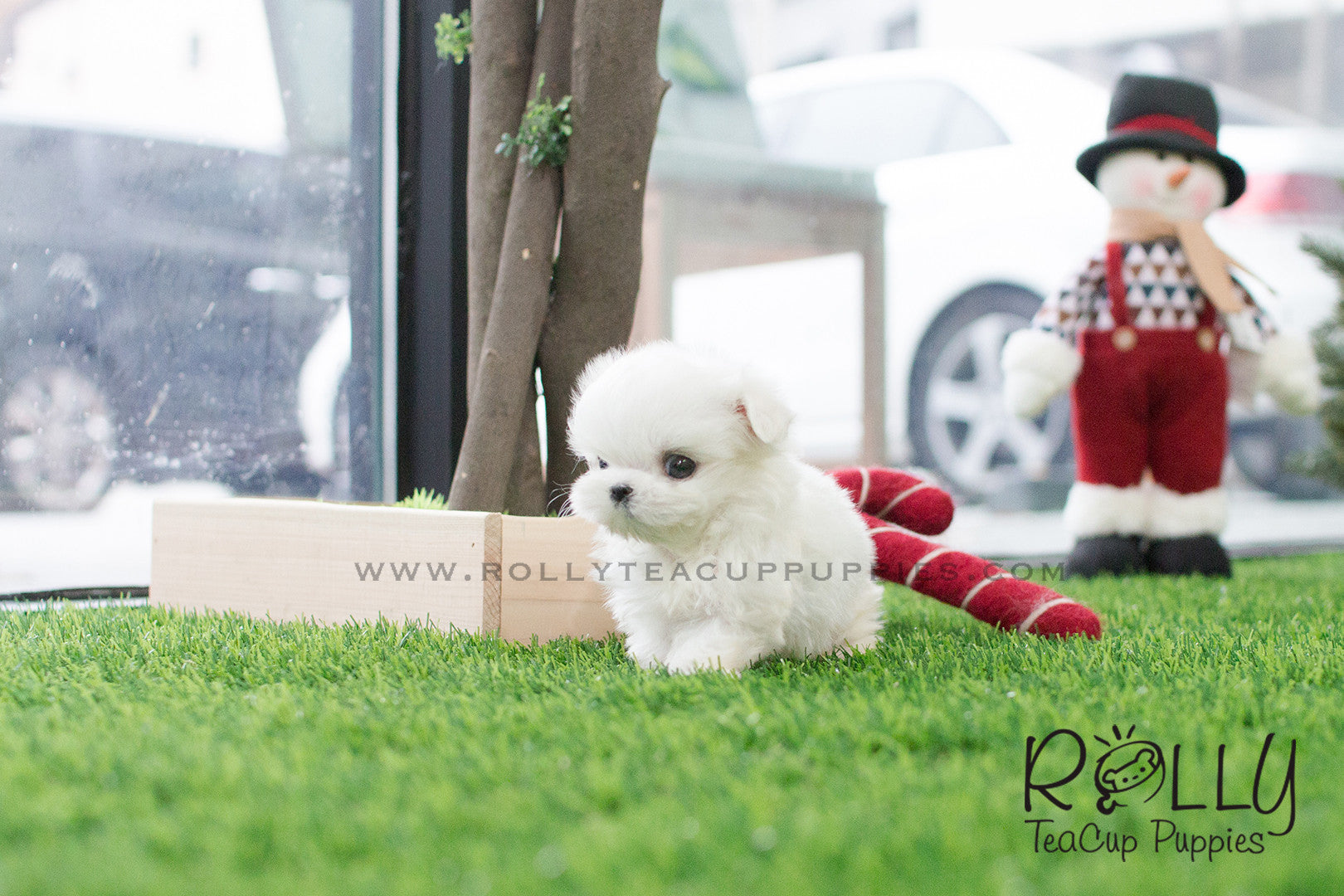 Mason - Maltese  M– Rolly Teacup Puppies