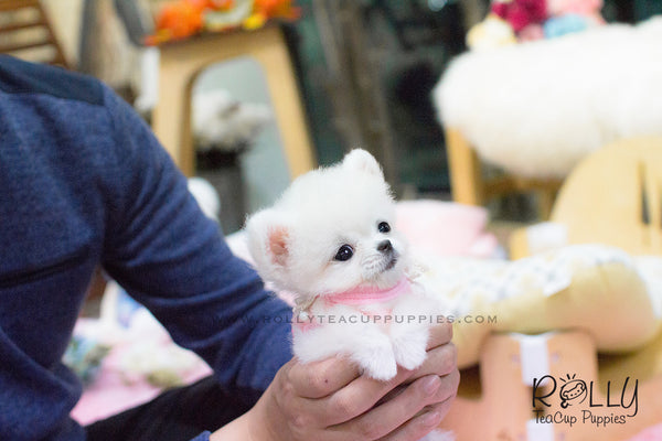 Penny - Pomeranian. F - Rolly Teacup Puppies