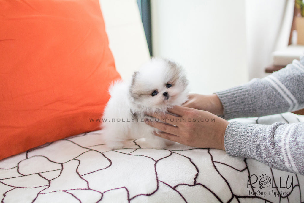 Sold Puppies Tagged Pomeranian Page 5 Rolly Teacup Puppies
