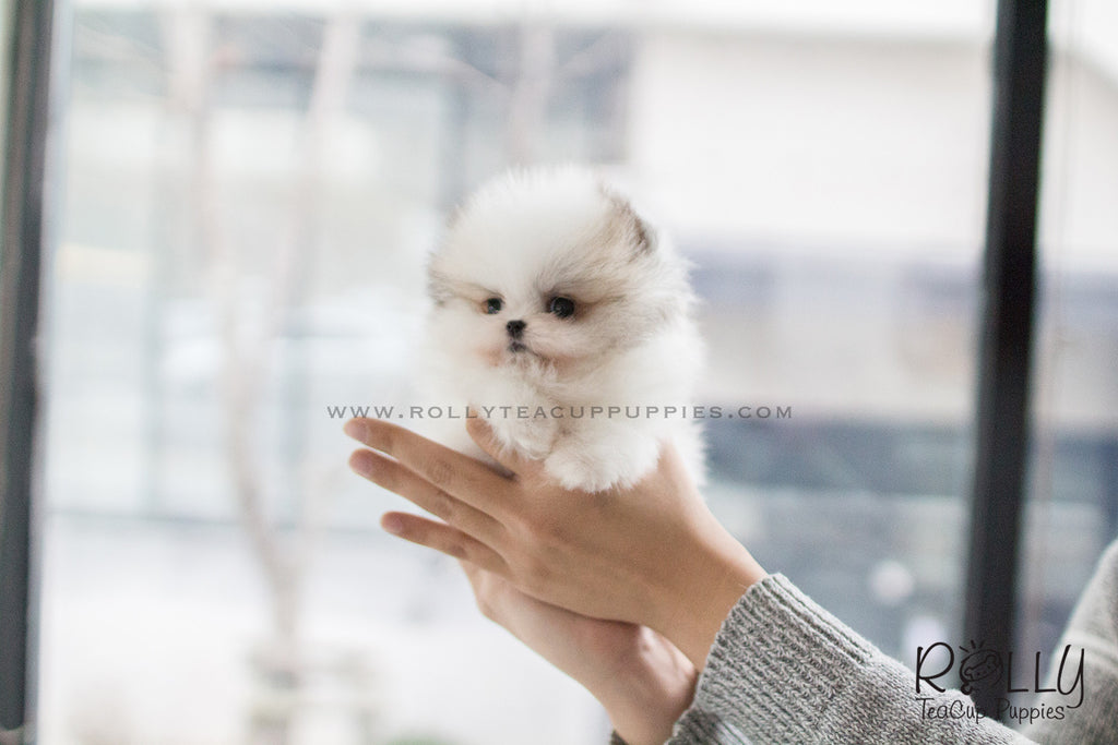 teacup pomeranian near me sold to herczeg cindy pomeranian f rolly teacup puppies 4017