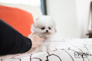 (SOLD to Herczeg) Cindy - Pomeranian. F - Rolly Teacup Puppies - Rolly Pups